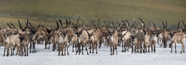 A herd of caribou bulls seeks the cooling relief of large snow patches where warble flies and mosquitoes seem to be less bothersome.